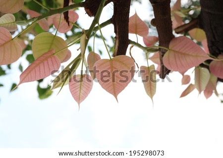 leaf Pipal Tree - stock photo