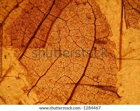 Leaf skeleton - stock photo