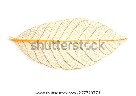 leaf skeleton background - stock photo