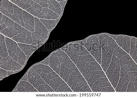 Leaf skeleton on black background - stock photo