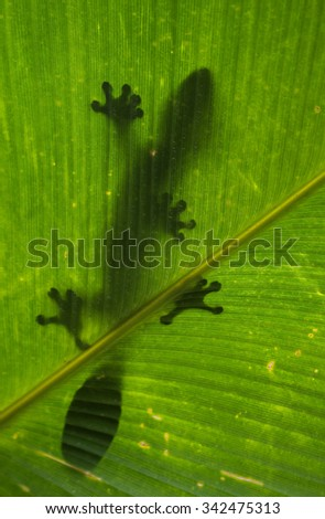 Leaf-tailed gecko is sitting on a large green leaf. Silhouette. unusual perspective. Madagascar. An excellent illustration. - stock photo