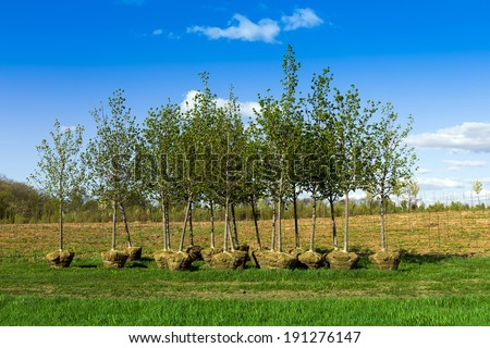 leaf trees nursery in spring - stock photo