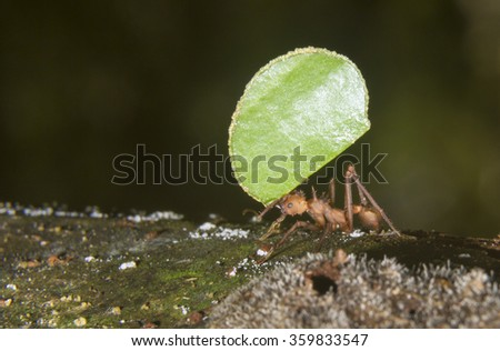 Leafcutter ant (Acromyrmex octospinosus) carrying a piece of leaf, Pacaya Samiria National Reserve, Yanayacu River, Amazon area, Peru - stock photo