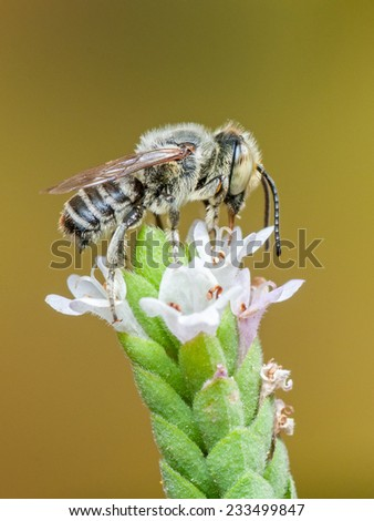 Leafcutter Bee (Megachile sp.) feeding on nectar. Patagonia, Argentina, South America. - stock photo