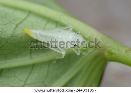 Leafhopper nymph ( Cicadellidae ) - stock photo