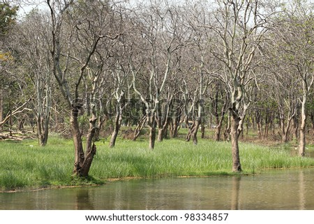 Leafless dead trees in field of tall green grass by the swamp - stock photo