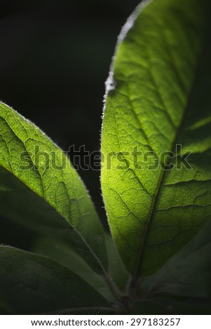 Leafs of the medlar shrub with the sun shining from behind - stock photo