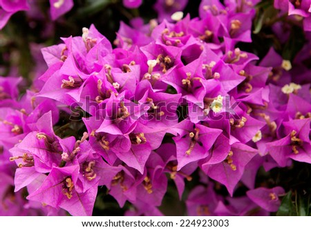 Leafy bougainvillea plant with pink flowers - stock photo