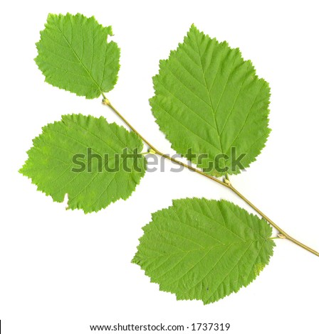 Leafy Branch isolated - stock photo