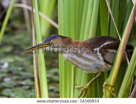 Least bittern - stock photo