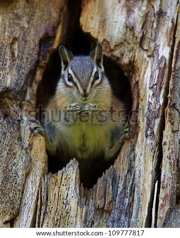 Least Chipmunk dramatically posed in the entrance to her hole; Chopaka Lake, Washington, near the Canadian border; Pacific Northwest wildlife / nature - stock photo