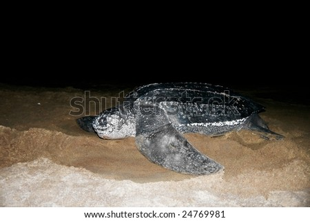 Leatherback Sea Turtle - stock photo