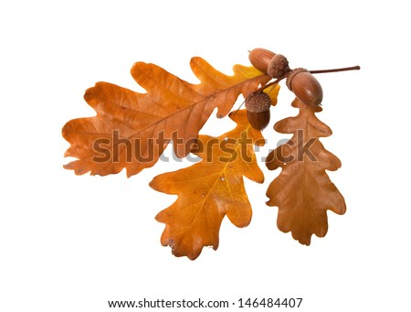 leaves and acorns isolated on white background - stock photo