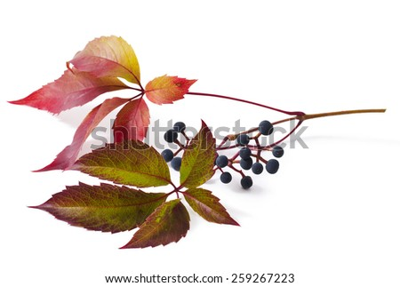 Leaves and berries are a Parthenocissus isolated on white background  - stock photo