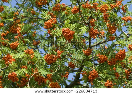 Leaves and ripe fruit of rowan - stock photo