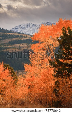 Leaves at the peak of fall color are lit by afternoon sun before snow capped mountains, Montana. - stock photo