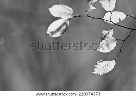 Leaves, autumn blurred natural background black and white - stock photo