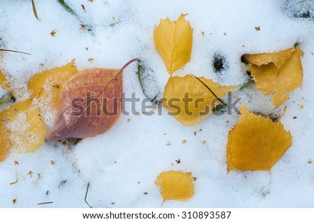Leaves autumn snow. texture. The first fall of snow. Yellow birch leaves in the snow - stock photo