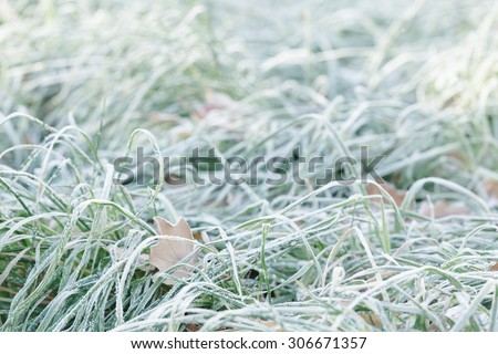 leaves in the grass with morning frost, late autumn - stock photo