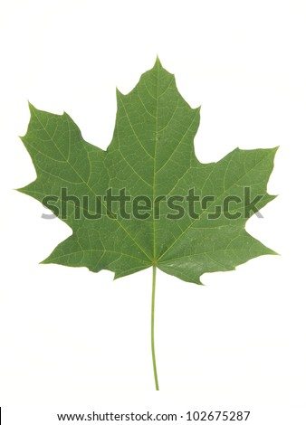 Leaves maple - stock photo