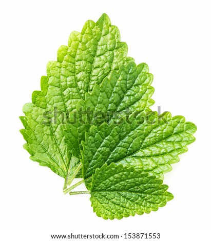 leaves of balm - stock photo