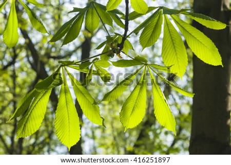 Leaves of horse chestnut tree in morning sunlight, selective focus, shallow DOF - stock photo
