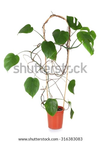 Leaves of Monstera plant isolated on white - stock photo