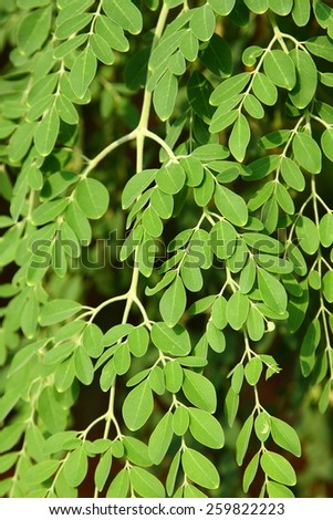 Leaves of Moringa oleifera, (the tree of life) in natural background. - stock photo
