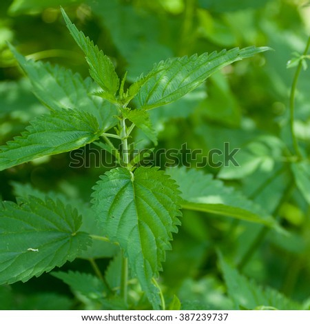 Leaves of nettles - close up.Very medical plant. Nettle is harvested from June to September and used to leaves and root. It is used for purifying the blood and increase  - stock photo