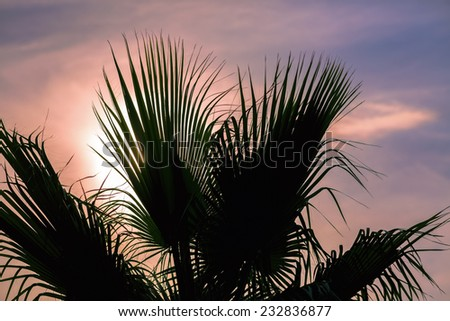 Leaves of palm tree at sunset. Closeup. - stock photo