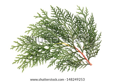 Leaves of pine tree or Oriental Arborvitae , Scientific Name:Thuja Orientalis , on white background  - stock photo