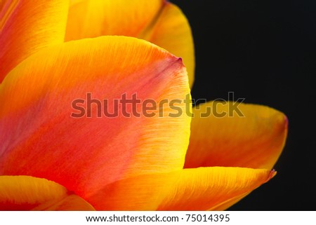Leaves of red tulip with yellow edges, narrow depth of field and dark background - stock photo
