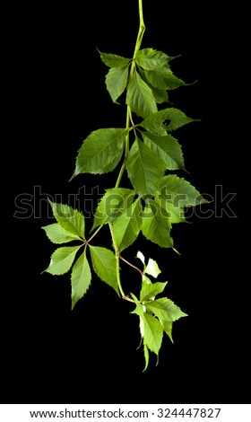 leaves of vine on a black background - stock photo