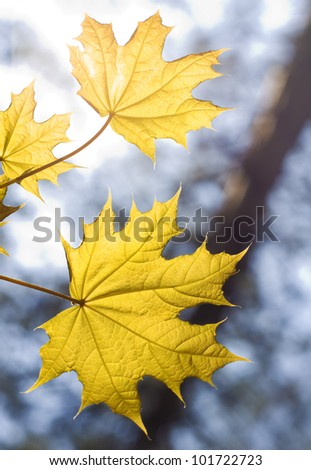 Leaves on maple branches in spring wood - stock photo