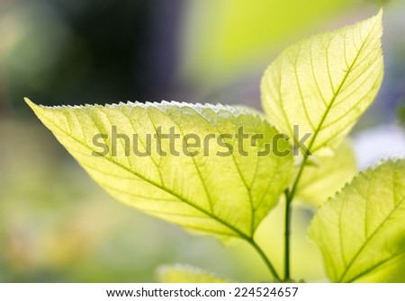 leaves on the tree in nature - stock photo