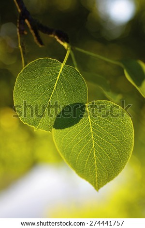 Leaves Pears on the tree - stock photo