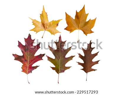 leaves with autumn colors isolated on white background - stock photo