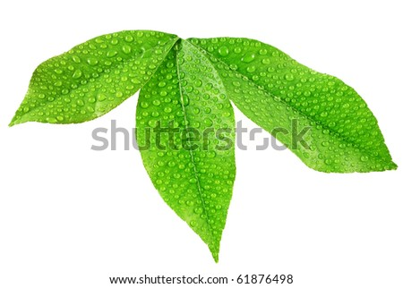 leaves with dew drops - stock photo