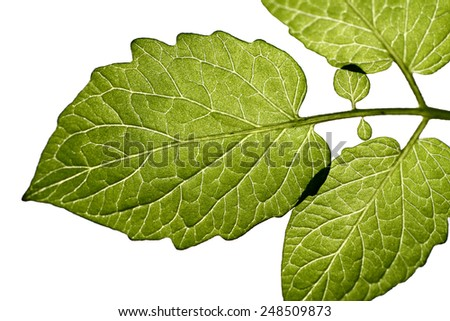 leaves with white background.  - stock photo