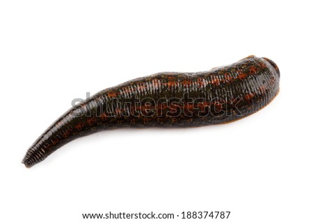 Leech isolated on white  - stock photo