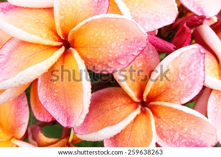 Leelawadee. Soft pink blossom in springtime, beautiful pink flowers with water drops.. - stock photo
