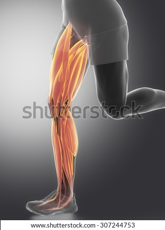 Leg muscles  - human muscle anatomy - stock photo