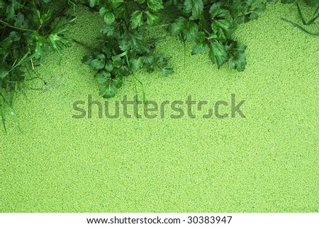 Lemna Minor (Mud) Detail of a pond (green lentil of water) - stock photo
