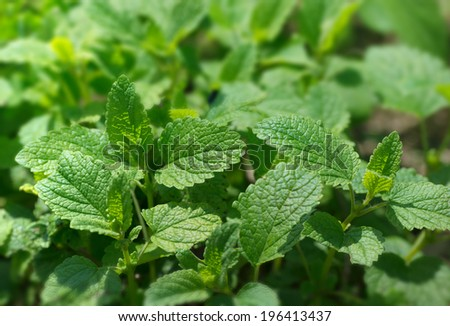 Lemon balm growing in the garden. - stock photo