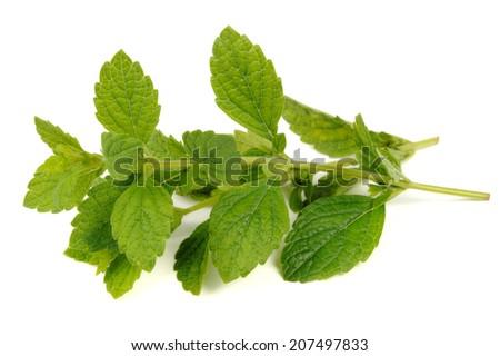 Lemon Balm (Melissa Officinalis) Isolated on White Background - stock photo