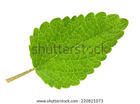 Lemon melissa leaf closeup isolated on white - stock photo