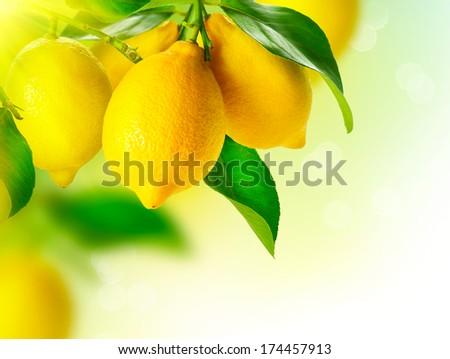 Lemon. Ripe Lemons hanging on a lemon tree. Growing Lemon - stock photo