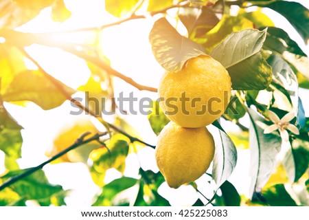 Lemon. Ripe Lemons hanging on tree. Growing Lemon - stock photo
