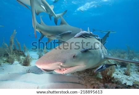 Lemon shark - stock photo