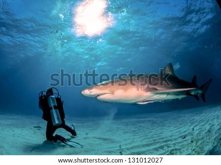 Lemon Shark Crossing - stock photo